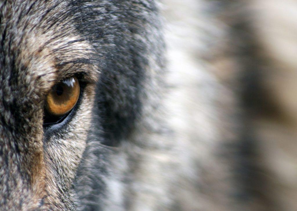 Stanowisko PZŁ w sprawie wilka